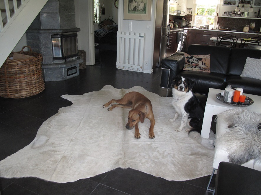 Man's best friend loves cowhide rug